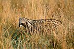 African Civet, Okavango Delta, Ngamiland, Botswana