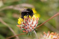 Large Garden Bumblebee - Bombus ruderatus - Black form.