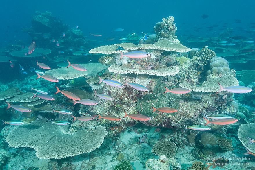 Rakeedhoo Island, Felidhoo Atoll, Maldives; an aggregation of Fusilier fish swimminig over a large number of plate corals (Acropora sp.) covering the ocean floor in shallow water