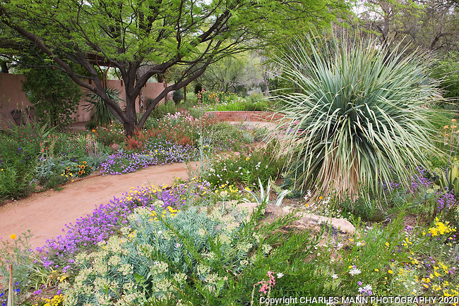 A large Nolina nelsoni is surrounded by wildflowers and other desert blooms as the demonstration Garden at the Boyce Thompson Arboretum in Superior, Arizona, bursts with color during the month of April.