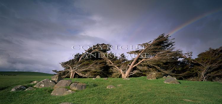 Wind swept Macrocarpa trees at Pahia. Southland Region. New Zealand