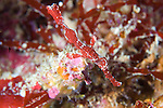 The Halimeda ghost pipefish  (Solenostomus halimeda) red variety, near coralline red algae, Solomon Islands