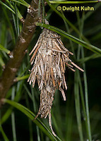 LE23-503z  Common Bagworm hanging from tree, larva of moth with surrounding case, Thyridopteryx ephemeraeformis