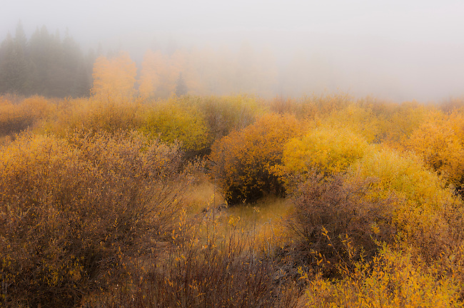 cool, mist, willows, Salix, forest, fall, color, willow wetland, nature, Hidden Valley, landscape, scenic, Rocky Mountain National Park, Colorado, USA