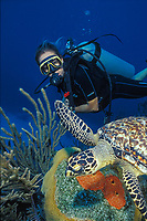 scuba diver swims with hawksbill turtle, Eretmochelys imbricata, on a reef in Cayman Brac, Cayman Islands, Caribbean, Atlantic
