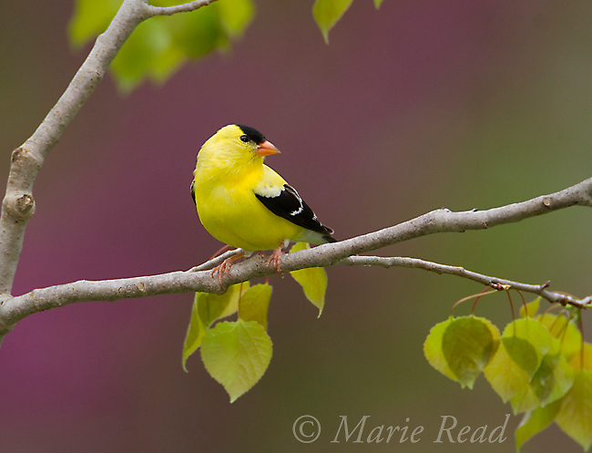 American Goldfinch (Carduelis tristis) male in spring, (mauve background is out of focus flowering eastern redbud) New York, USA