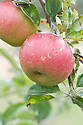 Apple 'Idared', early September. American apple originating from Idaho. Crisp, juicy, and sweet if rather bland. Useful as a dual-purpose cooking and eating apple. It stores exceedingly well. Spur-bearer.