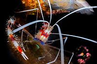 Banded coral shrimp, Stenopus hispudus, Bonaire, Netherlands Antilles, Caribbean, Atlantic
