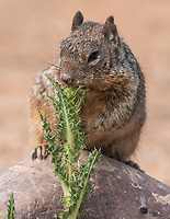 Rock Squirrel, Otospermophilus variegatus, at the Riparian Preserve at Water Ranch, Gilbert, Arizona