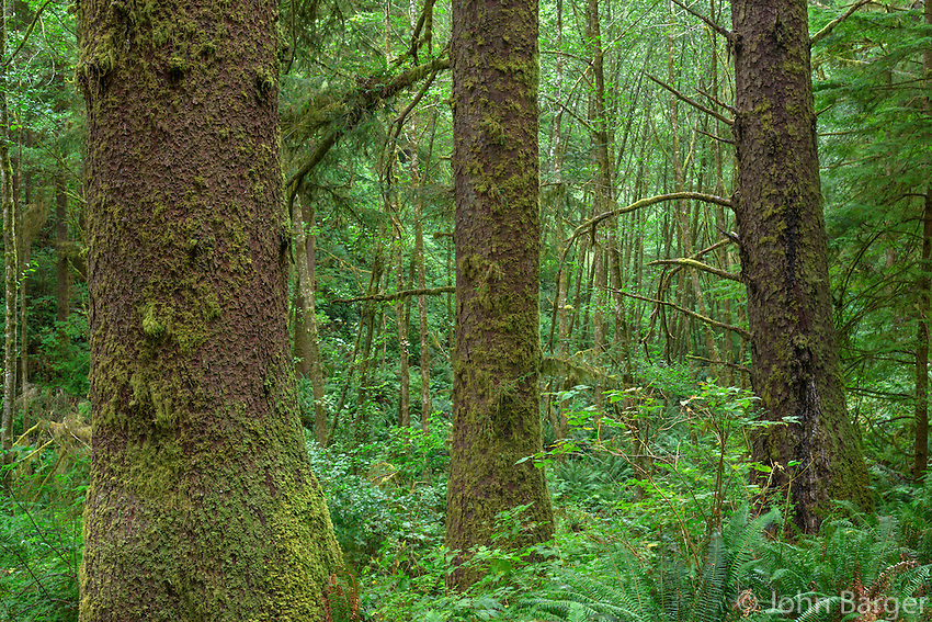 ORCOC_D275 - USA, Oregon, Siuslaw National Forest. Cape Perpetua Scenic Area, Old growth coastal rainforest of Sitka spruce (Picea sitchensis) lush with understory.