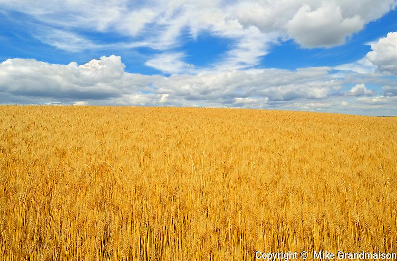 Wheat and clouds<br /> Delburne<br /> Alberta<br /> Canada