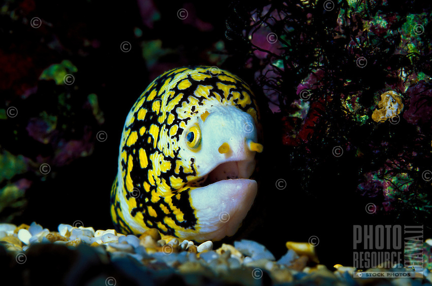 The Snowflake Eel (Echidna nebulosa)is a very reclusive creature on Hawaii's coral reefs. Hawaiian name is Puhi.