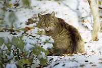 Wildkatze, Wild-Katze, Katze, Felis silvestris, wild cat, Wildtier des Jahres 2018