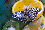 A mult-colored, Brown Cracker sitting on and sipping from a fresh orange surrounded by other fruit set out for the butterflies.