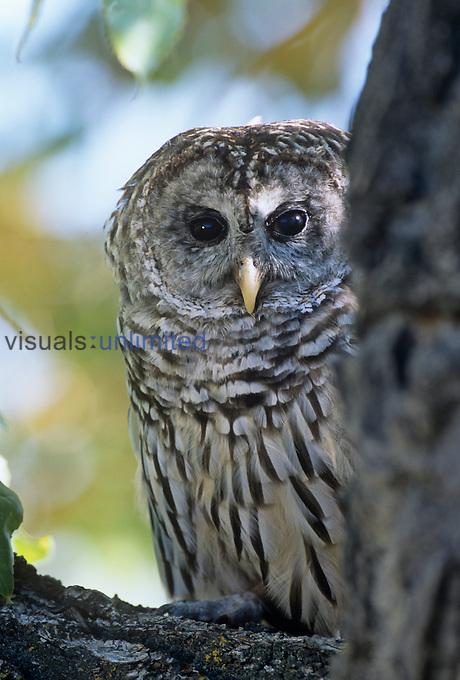Barred Owl (Strix varia), Colorado, USA.