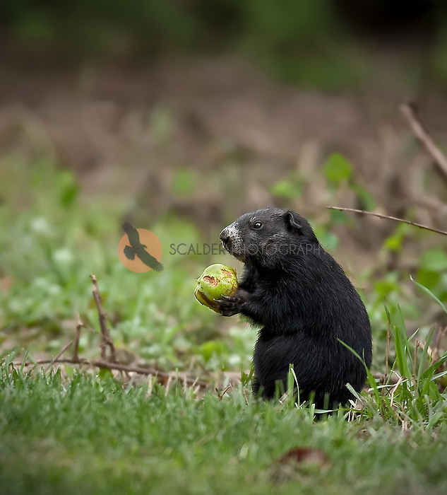 Black Ground Hog eating apple under an apple tree