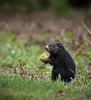 Black Ground Hog eating apple under an apple tree