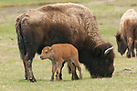 A bison calf stands with its mother in Yellowstone National Park, Wyoming.