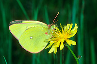 Hochmoor-Gelbling, Hochmoorgelbling, Zitronengelber Heufalter, Gelbling, Colias palaeno, Moorland Clouded Yellow, Palaeno Sulphur, Pale Arctic Clouded Yellow, Weißlinge, Pieridae