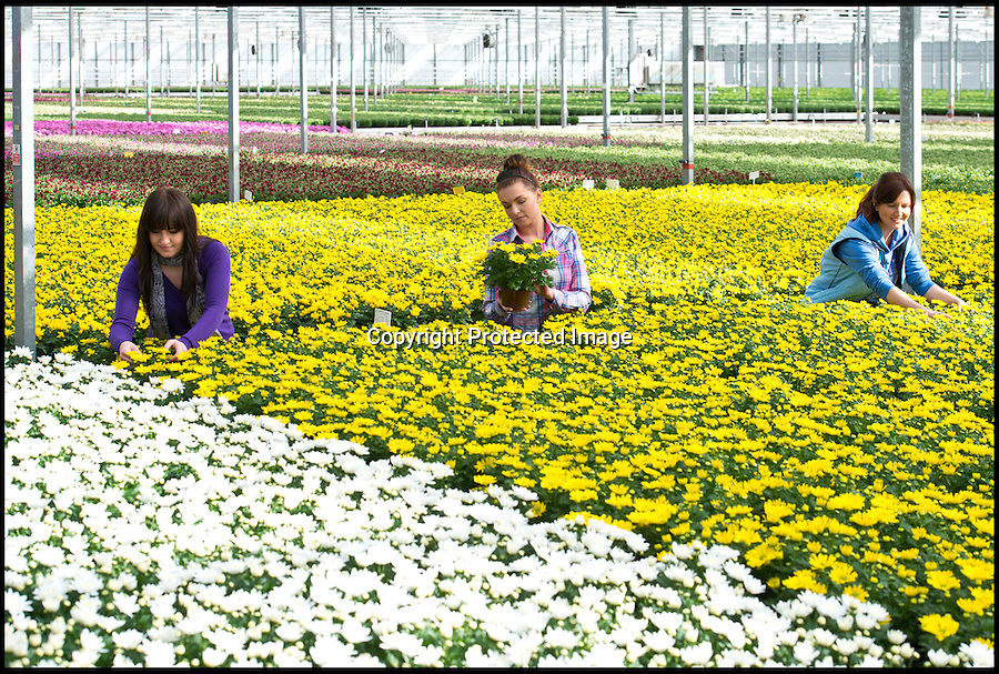 BNPS.co.uk (01202 558833)<br /> Pic: RachelAdams/BNPS<br /> <br /> Workers at Double H nursery in New Milton, Hampshire, inspect the  potted chrysanthemums in preparation for the company's most intensive period - Mothering Sunday. Double H is the UK's biggest grower of chyrsanthemums, orchids and begonia, producing 300,000 plants each year. Pictured: l-r Marta Beben, 25, from Poland, Karolina Tatar, 25, from Poland, Barbara Zycha, 36, from Poland.