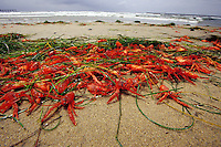 Pelagic red crab, Pleuroncodes planipes, occasionally wash ashore in large numbers along the southern California coast, signaling the start of an El Nino, California