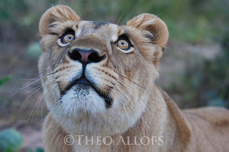 Botswana, Kalahari, lioness, captive, portrait