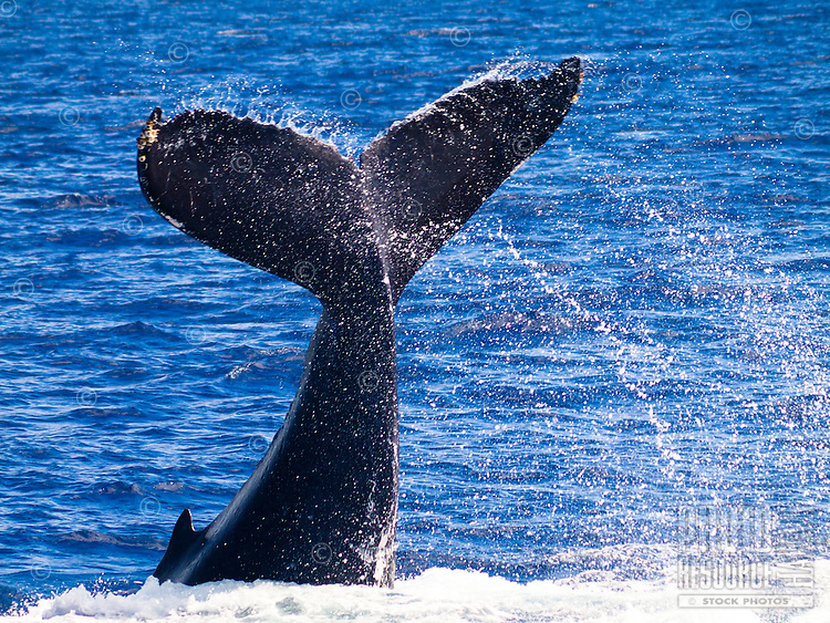 The tail of a baby humpback whale learning to slap the water surface near Maui.