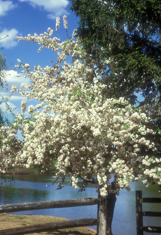 White spring flowering crabapple tree Malus hupehensis