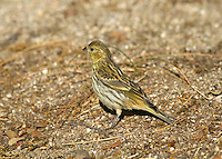 Serin - Serinus serinus - female. L 11-12cm. Tiny finch with a stubby bill. Adult males are colourful and distinctive. Other plumages are duller and more streaked. Breeds here occasionally but seen mainly in autumn, feeding in weedy coastal fields.