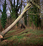 A01XD7 Sequence of nine Man cutting down an ash tree in English woodland