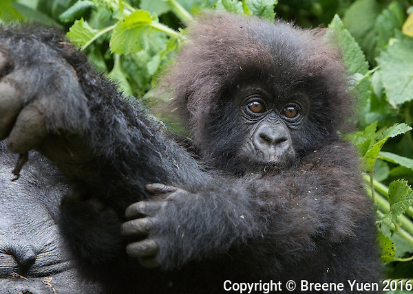 Gorilla Baby on Mom's Arm Rwanda 2015
