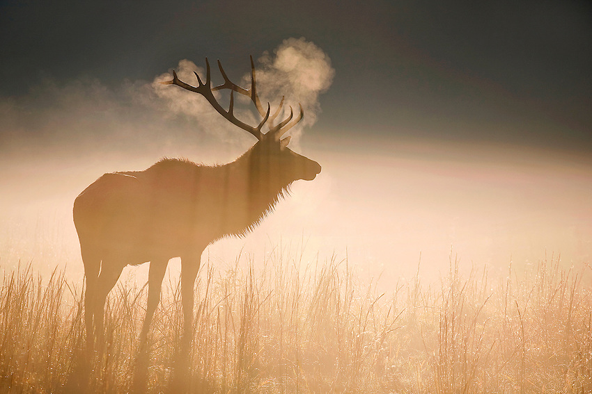 """BULL ELK AT DAWN"" -- A bull elk at dawn in the Cataloochee Valley region of Great Smoky Mountains National Park. Located on the border of North Carolina and Tennessee in the southern Appalachian mountains."