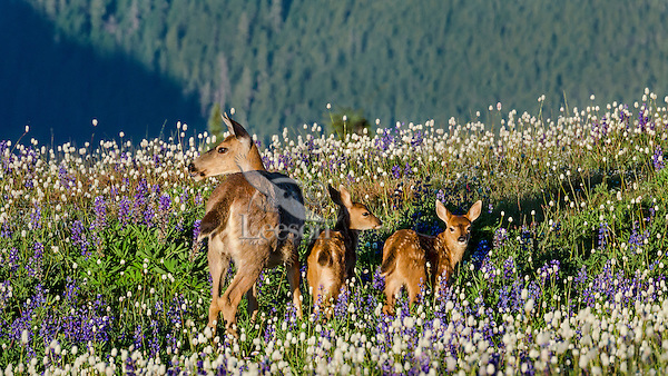 Columbian black-tailed deer (Odocoileus hemionus columbianus) doe with her young fawns among wildflowers--lupine and bistort in subalpine meadow.  Pacific Northwest.  Summer.