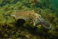 Giant Cuttlefish, Sepia apama, mating pair at breeding aggregation, small male pretended to be a female to sneak passed a larger male that was guarding the female, Point Lowly, Whyalla, South Australia, Australia, Spencer Gulf, Southern Ocean