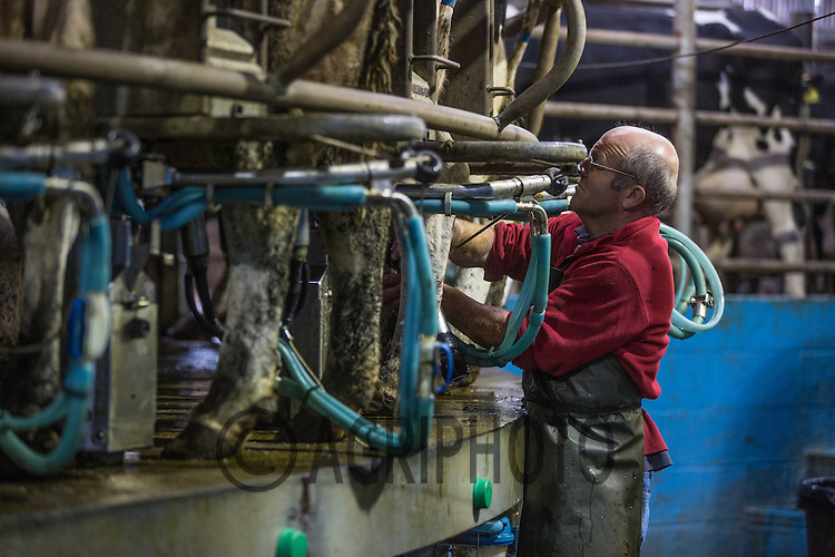 Dairy cows being milked in a rotary parlour <br /> Picture Tim Scrivener 07850 303986