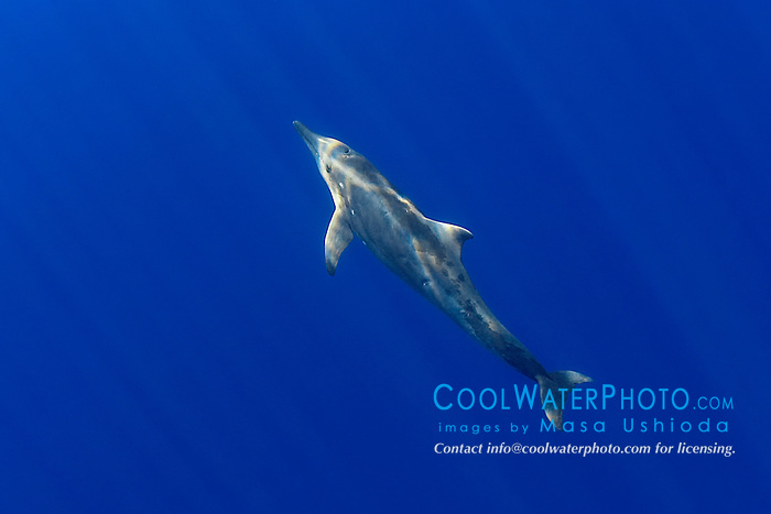 rough-toothed dolphin, Steno bredanensis, off Kona Coast, Big Island, Hawaii, Pacific Ocean