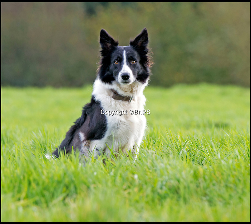 BNPS.co.uk (01202 558833)Pic: LeeMcLean/BNPS<br /> <br /> On the mend...Winnie the Border collie.<br /> <br /> Squashed Border collie Winnie has miracle escape from 15 ton tractor - Soggy ground saves  sheepish pooch.<br /> <br /> A pregnant sheepdog had a miracle escape after she was run over by a 15-tonne tractor - and survived because she was pushed into the soft mud.<br /> <br /> Shepherd Josh Sibley feared the worst when Winnie, a Border Collie, chased a rabbit under the 2ft wide tyre of a forage harvester.<br /> <br /> Luckily, because the ground was so soft Winnie was pinned down into the mud rather than being crushed to death.