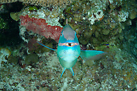 nr0612-D. Stoplight Parrotfish (Sparisoma viride). Belize, Caribbean Sea. <br /> Photo Copyright &copy; Brandon Cole. All rights reserved worldwide.  www.brandoncole.com