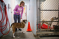 NWA Democrat-Gazette/DAVID GOTTSCHALK Stephanie Schwedhelm, animal care taker, takes Caroline, a shelter resident since August of 2017, from her kennel Friday, January 5, 2018, to visit in the front office area at the City of Springdale Animal Services building.