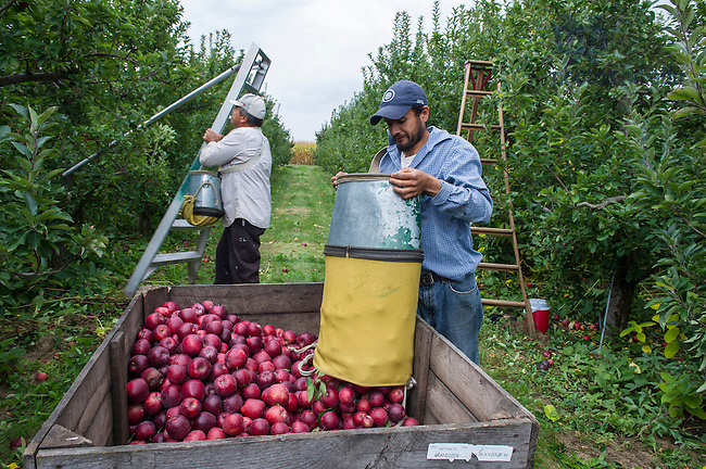 0ct. 15, 2013;  Orchard workers pick Red Delicious apples at Grandview Orchards in Watervliet, MI. Photo by Barbara Johnston/University of Notre Dame
