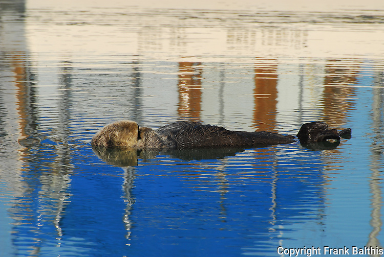 sea otter resting in Moss Landing harbor