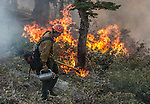 US Forest Service Horseshoe Meadow Hotshot uses drip torch to burn out fuels along Tioga Road between Gin Flat and White Wolf in Yosemite National Park.