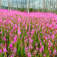 Fireweed growth following forest fire, Yukon Territory, Canada. Kluane National Park