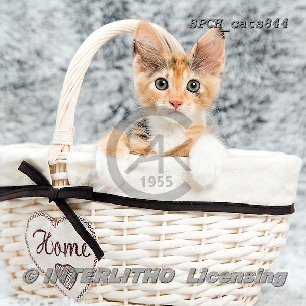 Xavier, ANIMALS, REALISTISCHE TIERE, ANIMALES REALISTICOS, cats, photos+++++,SPCHCATS844,#a#