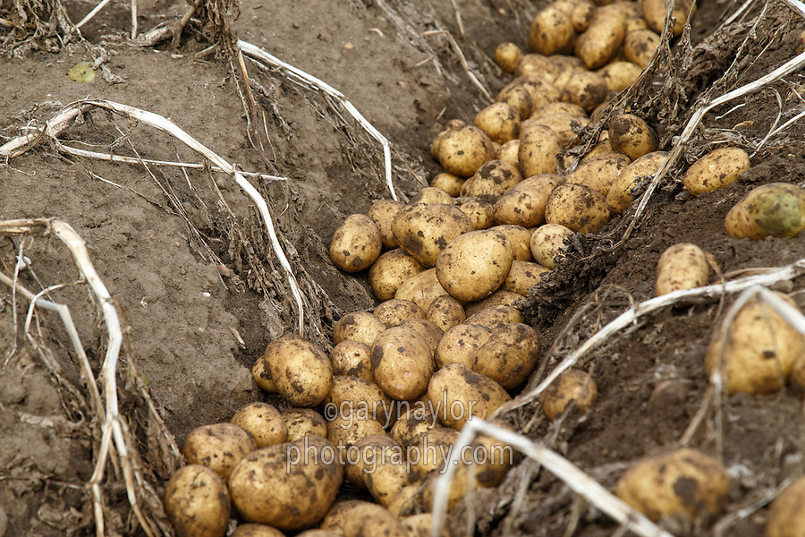 Windrowed potatoes between ridges (opening out) - Lincolnshire, September