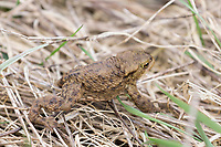 Toad, Bufonidae, in marshland in North Norfolk, UK