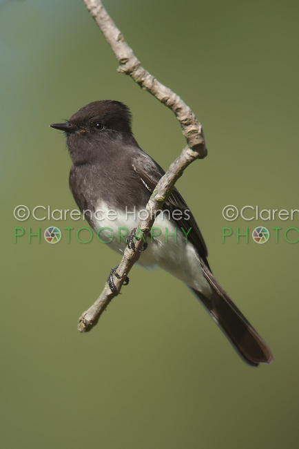 Black Phoebe (Sayornis nigricans) perching at the end of a tree branch