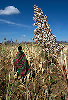 Natima Aleper harvest sorghum in her family's garden near Kaabong, in Kotido district of northeastern Uganda. October 23, 2003. Although considered a cattle keeping culture, the Karamojong also raise sorghum and millet as their staples.  (Rick D'Elia)