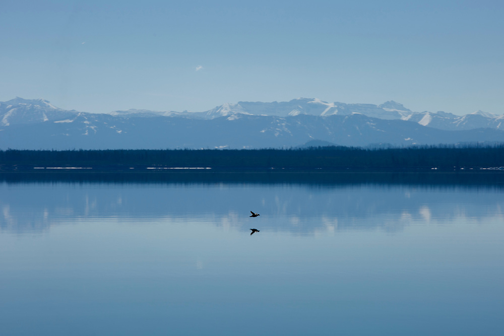 A bird flies across a calm Yellowstone Lake in Yellowstone National Park, Wyoming on Tuesday, May 23, 2017. (Photo by James Brosher)
