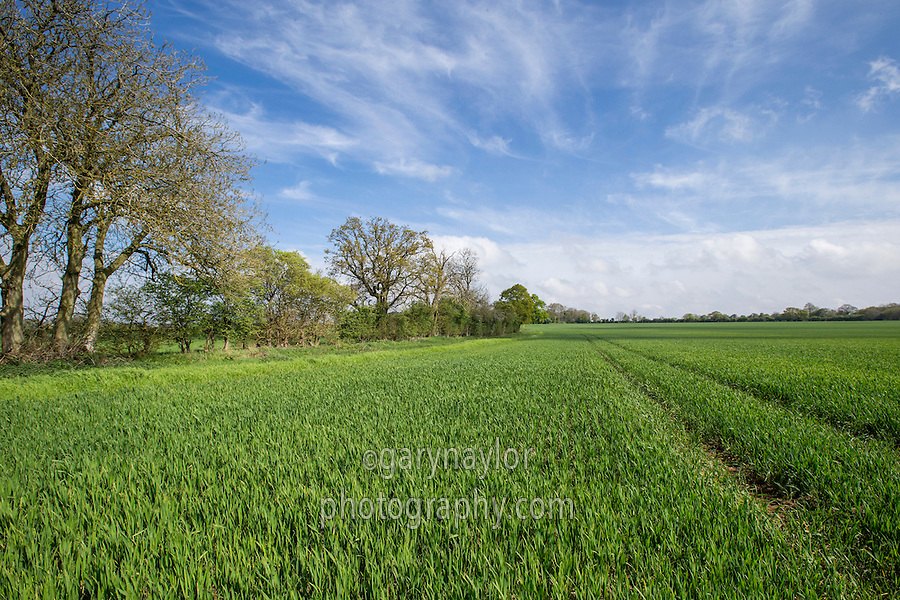 Winter wheat crop with tree line and field margin - Norfolk, April
